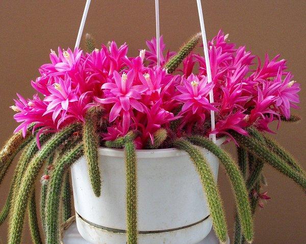 bientôt des fleurs [aporocactus] Aporocactus